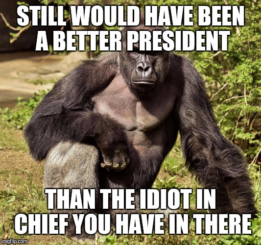 STILL WOULD HAVE BEEN A BETTER PRESIDENT THAN THE IDIOT IN CHIEF YOU HAVE IN THERE | image tagged in harambe | made w/ Imgflip meme maker