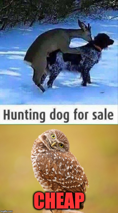 Props to whomever caught this image :-) | CHEAP | image tagged in hunting dog for sale cheap | made w/ Imgflip meme maker