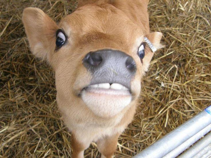 surprised cow blank template imgflip