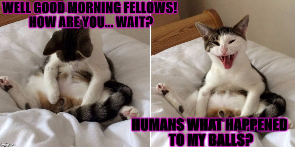 WELL GOOD MORNING FELLOWS! HOW ARE YOU... WAIT? HUMANS WHAT HAPPENED TO MY BALLS? | image tagged in nutless cat | made w/ Imgflip meme maker