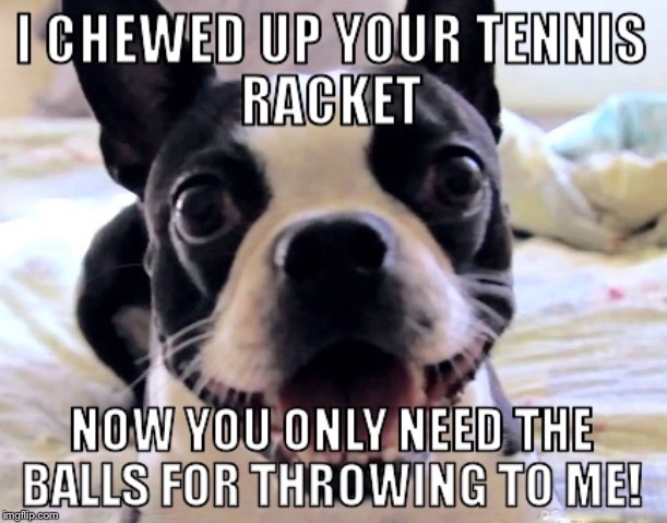 Overly Obsessed Best Friend! | . | image tagged in boston terrier,oag,overly attached girlfriend,tennis,overly obsessed girlfriend | made w/ Imgflip meme maker
