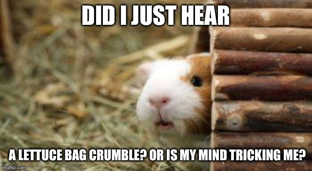 DID I JUST HEAR A LETTUCE BAG CRUMBLE? OR IS MY MIND TRICKING ME? | image tagged in lelz guinea pig | made w/ Imgflip meme maker