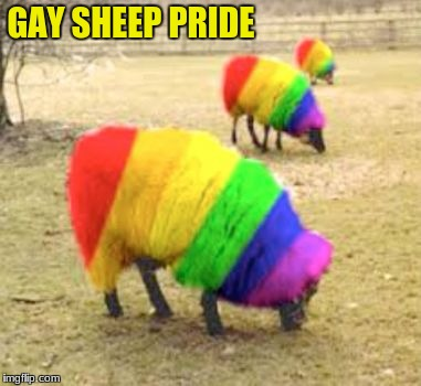Gay Sheep Pride | GAY SHEEP PRIDE | image tagged in gay,sheep | made w/ Imgflip meme maker