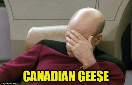 Captain Picard Facepalm Meme | CANADIAN GEESE | image tagged in memes,captain picard facepalm | made w/ Imgflip meme maker