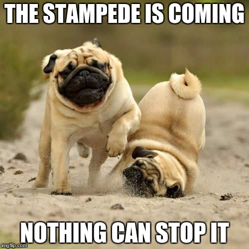 RUN! pugs | THE STAMPEDE IS COMING NOTHING CAN STOP IT | image tagged in run pugs | made w/ Imgflip meme maker