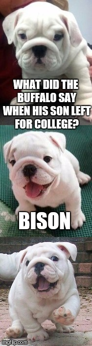 Bad pun bulldog pup  | WHAT DID THE BUFFALO SAY WHEN HIS SON LEFT FOR COLLEGE? BISON | image tagged in bad pun bulldog pup,jbmemegeek,cute dog,cute puppies,puppies,funny dogs | made w/ Imgflip meme maker