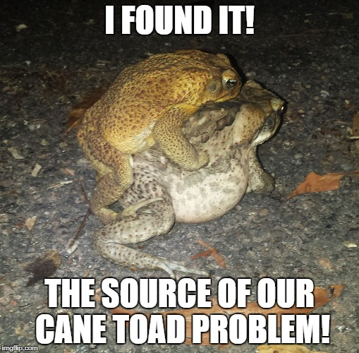 Toads Mating  | I FOUND IT! THE SOURCE OF OUR CANE TOAD PROBLEM! | image tagged in toads mating | made w/ Imgflip meme maker