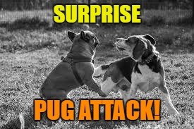 SURPRISE PUG ATTACK! | made w/ Imgflip meme maker
