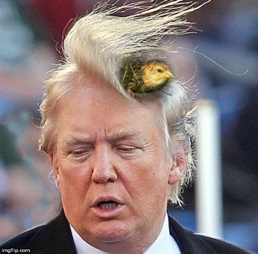 everyday is a bad hair day | image tagged in trump,trump hair,angry birds,bird,shithole,bad haircut | made w/ Imgflip meme maker