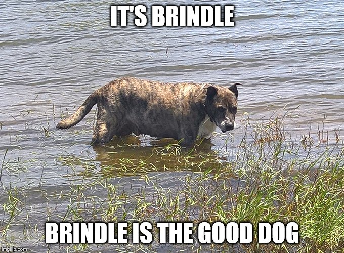 IT'S BRINDLE BRINDLE IS THE GOOD DOG | made w/ Imgflip meme maker