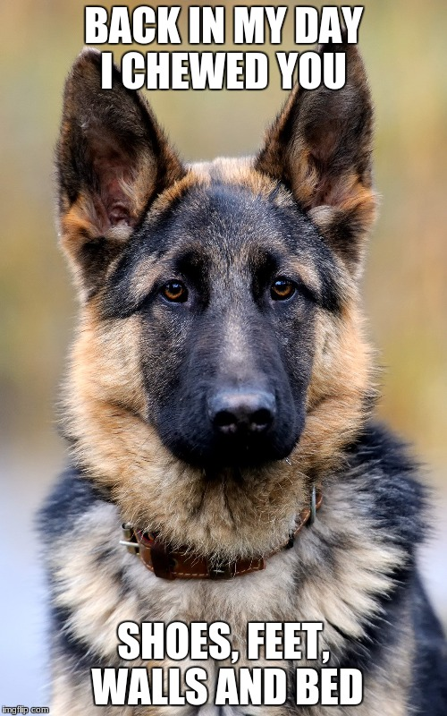 BACK IN MY DAY I CHEWED YOU SHOES, FEET, WALLS AND BED | image tagged in german shepherd | made w/ Imgflip meme maker