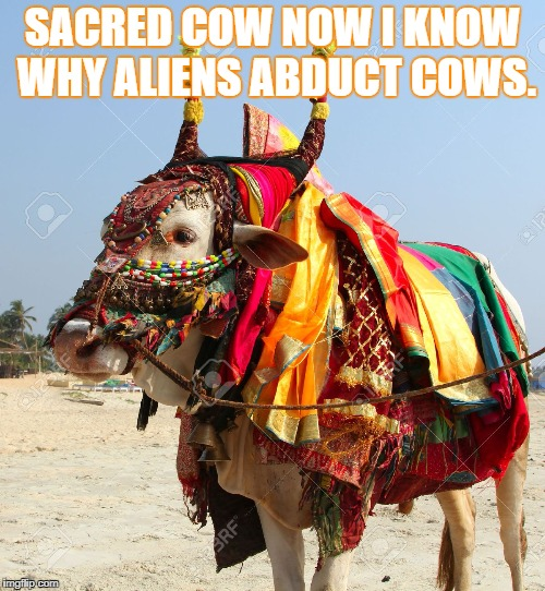 Alien Cow Abductions  | SACRED COW NOW I KNOW WHY ALIENS ABDUCT COWS. | image tagged in mad cow | made w/ Imgflip meme maker