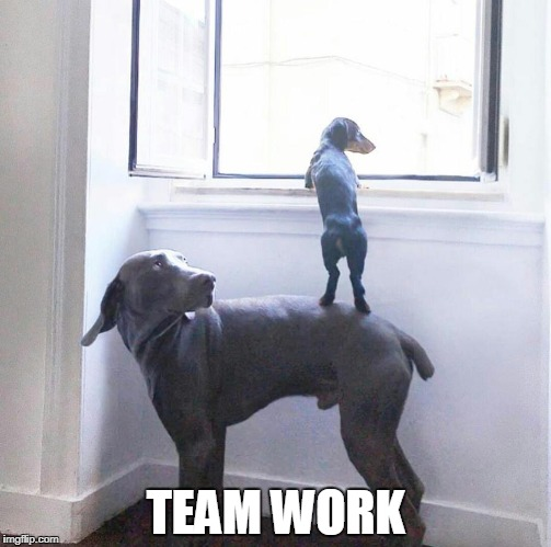 team work  | TEAM WORK | image tagged in team work,dogs,dachshunds,hounds | made w/ Imgflip meme maker