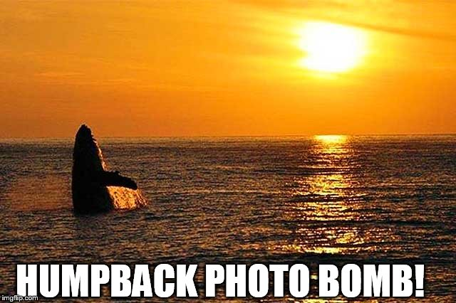 Humper back  photo- bomb | HUMPBACK PHOTO BOMB! | image tagged in humpback whale,photobomb,sunset | made w/ Imgflip meme maker