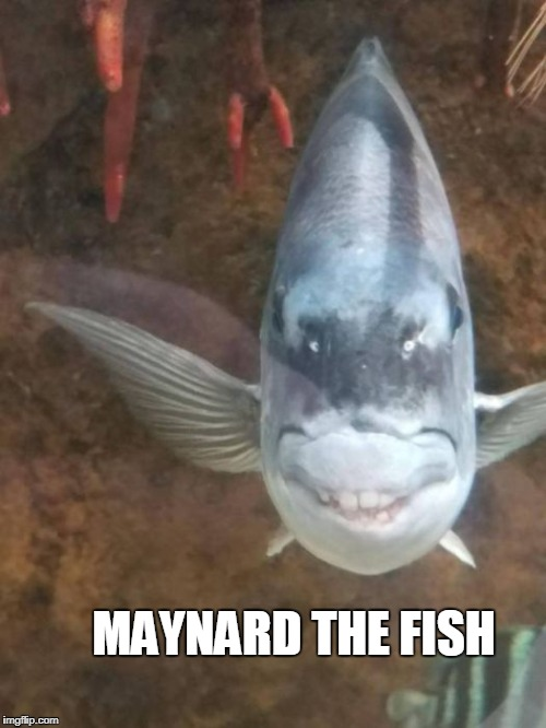 MAYNARD THE FISH | image tagged in fish | made w/ Imgflip meme maker