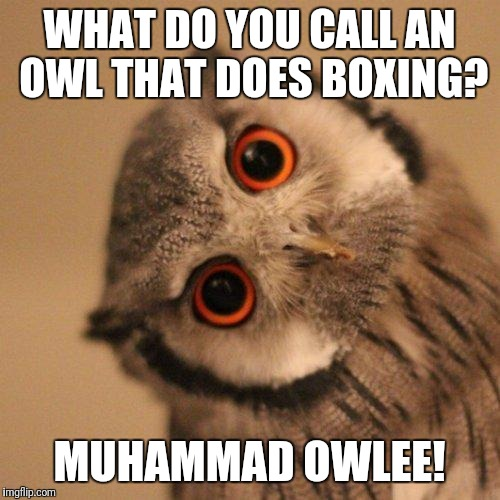inquisitve owl | WHAT DO YOU CALL AN OWL THAT DOES BOXING? MUHAMMAD OWLEE! | image tagged in inquisitve owl | made w/ Imgflip meme maker