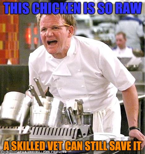 title isnt necessary here | THIS CHICKEN IS SO RAW A SKILLED VET CAN STILL SAVE IT | image tagged in memes,chef gordon ramsay,funny,chicken,stop reading the tags,cooking | made w/ Imgflip meme maker