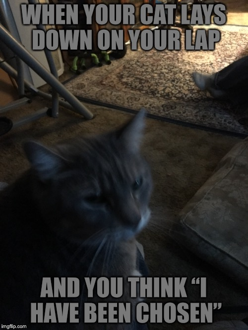 "Cat Affection  | WHEN YOUR CAT LAYS DOWN ON YOUR LAP AND YOU THINK ""I HAVE BEEN CHOSEN"" 