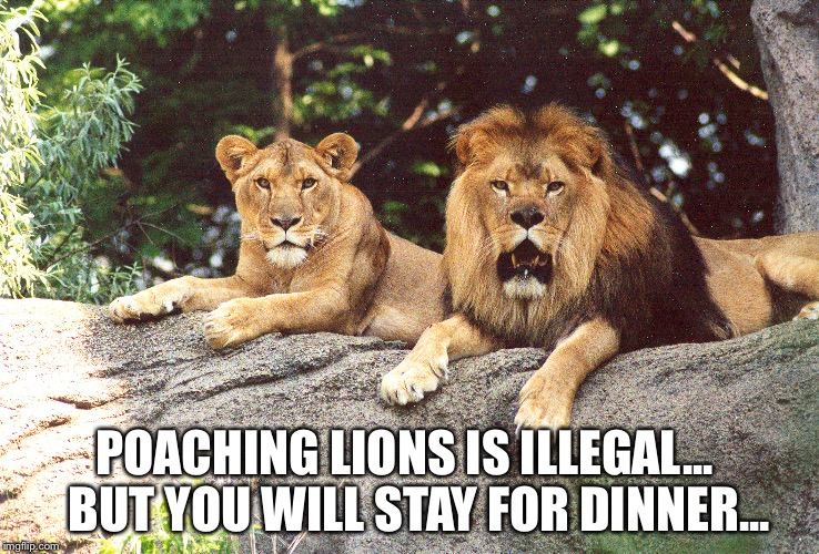 No poaching | POACHING LIONS IS ILLEGAL...  BUT YOU WILL STAY FOR DINNER... | image tagged in lions | made w/ Imgflip meme maker