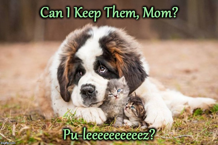 St. Bernard Falls In Love | Can I Keep Them, Mom? Pu-leeeeeeeeeez? | image tagged in little buddies | made w/ Imgflip meme maker