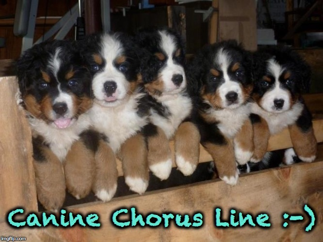 Irresistable :-) | Canine Chorus Line :-) | image tagged in bernese mountain puppies | made w/ Imgflip meme maker