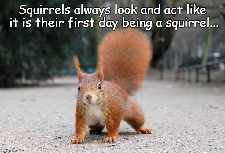 Squirrels... | Squirrels always look and act like it is their first day being a squirrel... | image tagged in squirrels,act,first,day,being | made w/ Imgflip meme maker