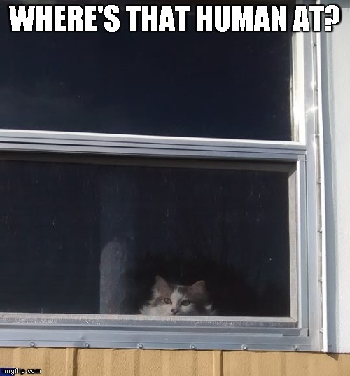 Queen Little Bit watching | WHERE'S THAT HUMAN AT? | image tagged in cat,dwarf cat,funny,cute,kitty | made w/ Imgflip meme maker