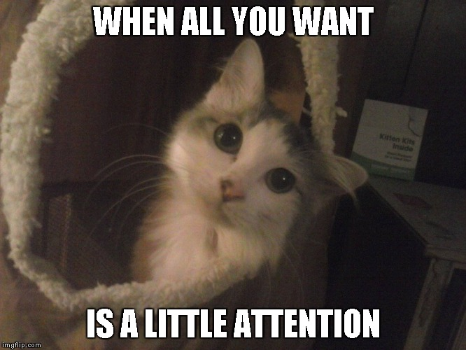Queen Little bit looking cute | WHEN ALL YOU WANT IS A LITTLE ATTENTION | image tagged in cats,dwarf cat,adorable,kitty | made w/ Imgflip meme maker