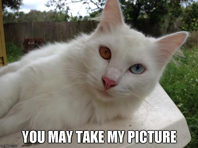 Conan posing | YOU MAY TAKE MY PICTURE | image tagged in cats,kitty,cute | made w/ Imgflip meme maker