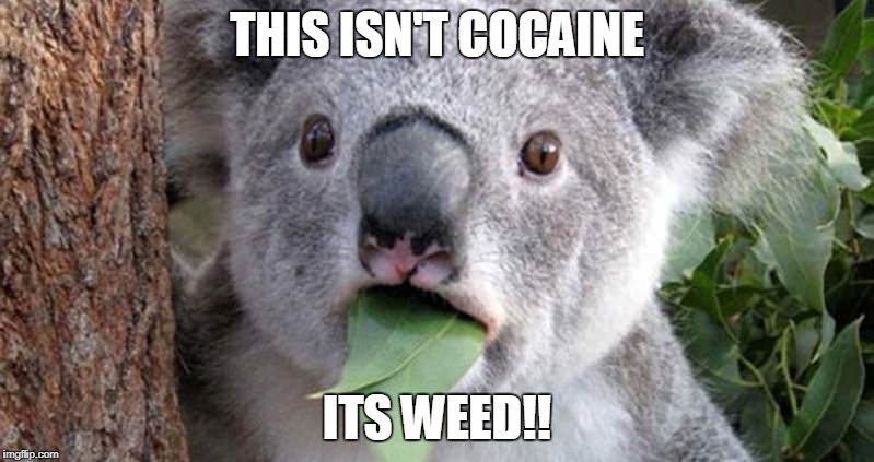 Koala that makes mistake | THIS ISN'T COCAINE ITS WEED!! | image tagged in koala,weed | made w/ Imgflip meme maker