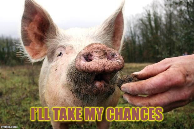 TrufflePig | I'LL TAKE MY CHANCES | image tagged in trufflepig | made w/ Imgflip meme maker