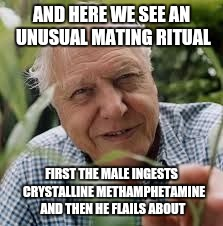 AND HERE WE SEE AN UNUSUAL MATING RITUAL FIRST THE MALE INGESTS  CRYSTALLINE METHAMPHETAMINE AND THEN HE FLAILS ABOUT | made w/ Imgflip meme maker