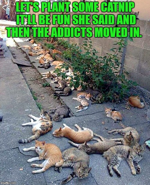 let's plant some catnip it'll be fun she said and then the addicts moved in. | LET'S PLANT SOME CATNIP IT'LL BE FUN SHE SAID AND THEN THE ADDICTS MOVED IN. | image tagged in catnip | made w/ Imgflip meme maker