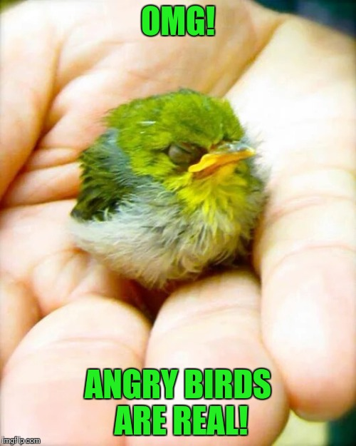 It is actually a Japanese White-eye or a Majiro bird | OMG! ANGRY BIRDS ARE REAL! | image tagged in angry birds,pipe_picasso | made w/ Imgflip meme maker