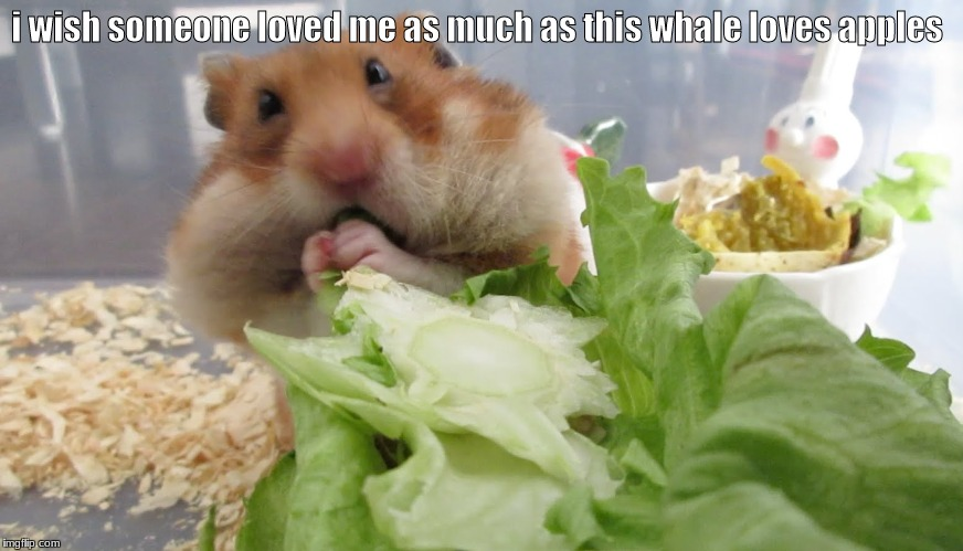 I wish someone loved me as much as this wolf loves watermelon. | i wish someone loved me as much as this whale loves apples | image tagged in hamster | made w/ Imgflip meme maker