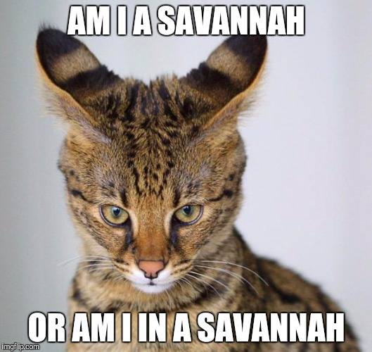 AM I A SAVANNAH OR AM I IN A SAVANNAH | image tagged in savannah cat - young | made w/ Imgflip meme maker