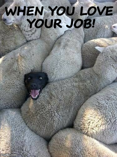 I Love My Job! | WHEN YOU LOVE YOUR JOB! | image tagged in dogs,funny dogs,sheep | made w/ Imgflip meme maker