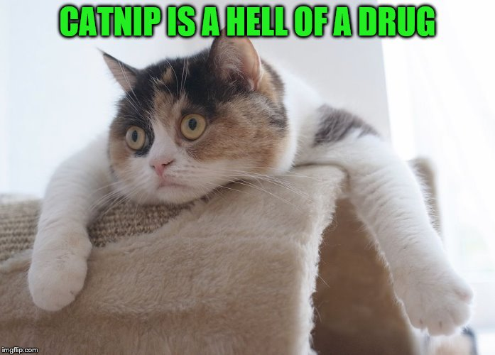 CATNIP IS A HELL OF A DRUG | made w/ Imgflip meme maker