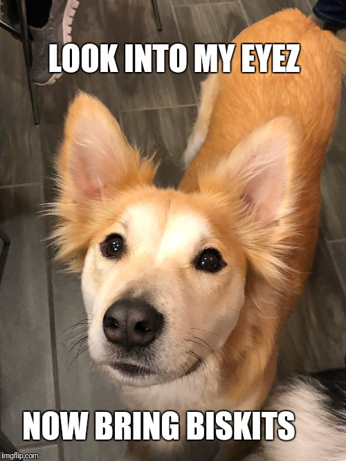You're getting vewy sweepy | LOOK INTO MY EYEZ NOW BRING BISKITS | image tagged in funny,memes,dog,cute puppies,magic | made w/ Imgflip meme maker