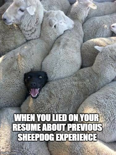 sheepdog | WHEN YOU LIED ON YOUR RESUME ABOUT PREVIOUS SHEEPDOG EXPERIENCE | image tagged in humor | made w/ Imgflip meme maker
