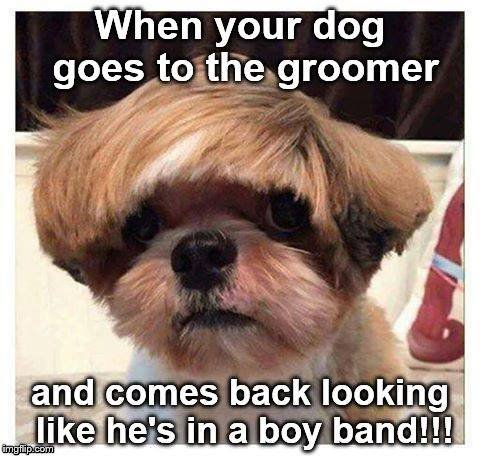 Boy Band | image tagged in dog,groomer,boy band,haircut | made w/ Imgflip meme maker