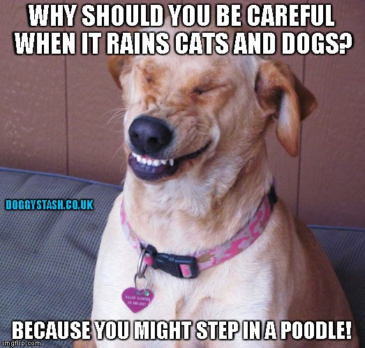 WHY SHOULD YOU BE CAREFUL WHEN IT RAINS CATS AND DOGS? BECAUSE YOU MIGHT STEP IN A POODLE! | image tagged in laughing dog | made w/ Imgflip meme maker