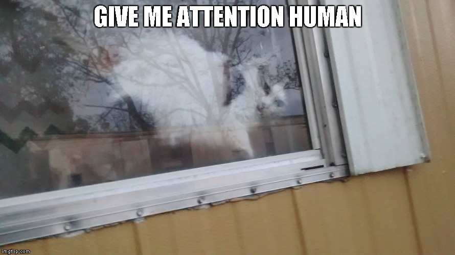 Queen Little Bit wants attention | GIVE ME ATTENTION HUMAN | image tagged in cat,dwarf cat,funny,cute | made w/ Imgflip meme maker