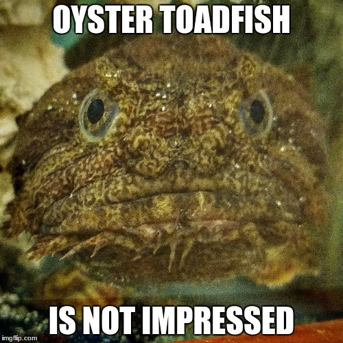 OYSTER TOADFISH IS NOT IMPRESSED | image tagged in oyster toadfish | made w/ Imgflip meme maker