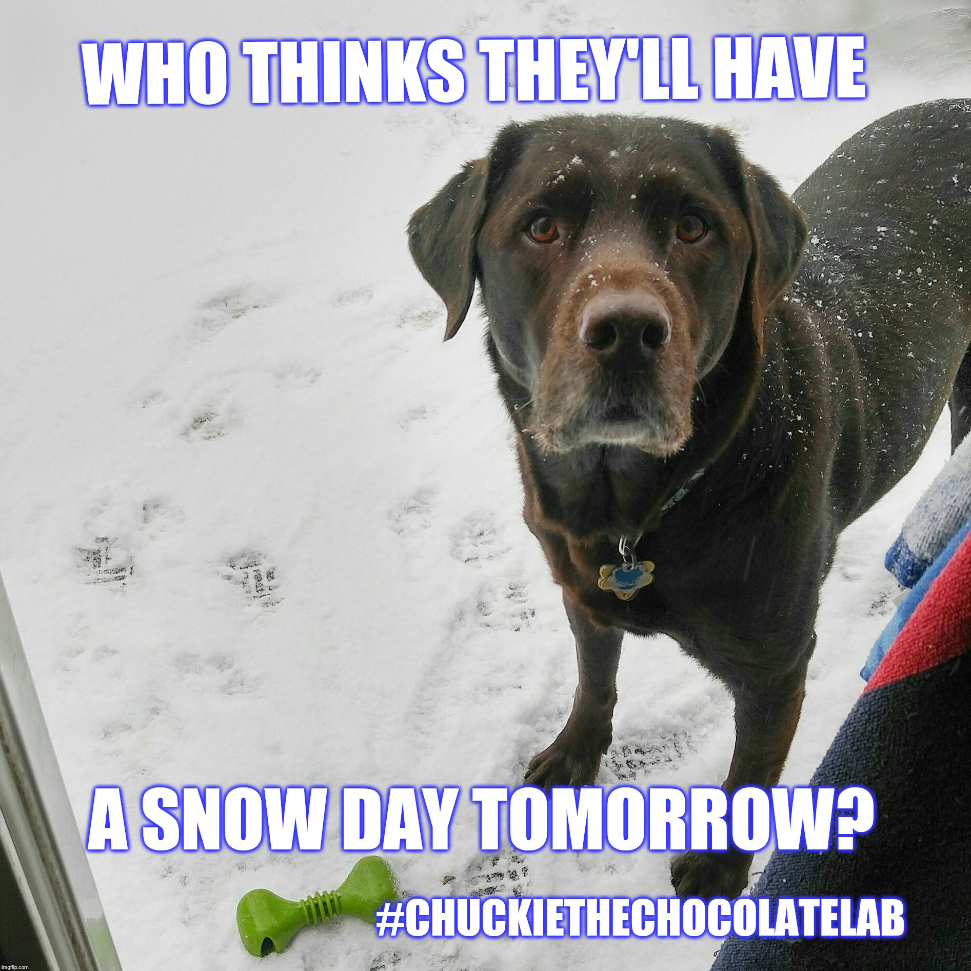 Who thinks they'll have a snow day tomorrow?  | WHO THINKS THEY'LL HAVE #CHUCKIETHECHOCOLATELAB A SNOW DAY TOMORROW? | image tagged in chuckie the chocolate lab teamchuckie,snow,snow day,dogs,memes,cute | made w/ Imgflip meme maker