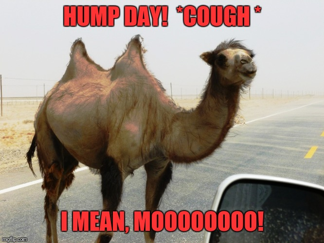 Hump Day | HUMP DAY!  *COUGH * I MEAN, MOOOOOOOO! | image tagged in hump day | made w/ Imgflip meme maker