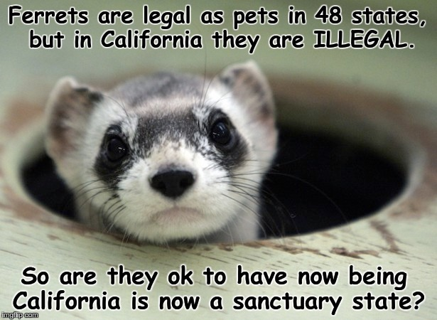 Ferrets, Yeah Baby! | Ferrets are legal as pets in 48 states, but in California they are ILLEGAL. So are they ok to have now being California is now a sanctuary s | image tagged in ferrets,california,illegals,sanctuary cities | made w/ Imgflip meme maker