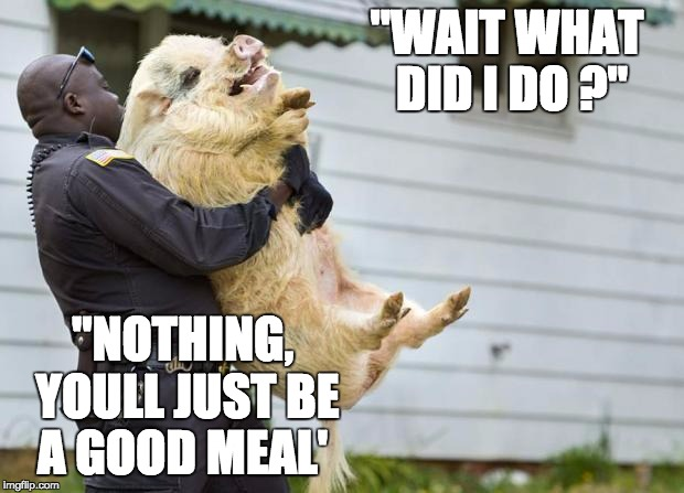 "arrested pig | ""WAIT WHAT DID I DO ?"" ""NOTHING, YOULL JUST BE A GOOD MEAL' 