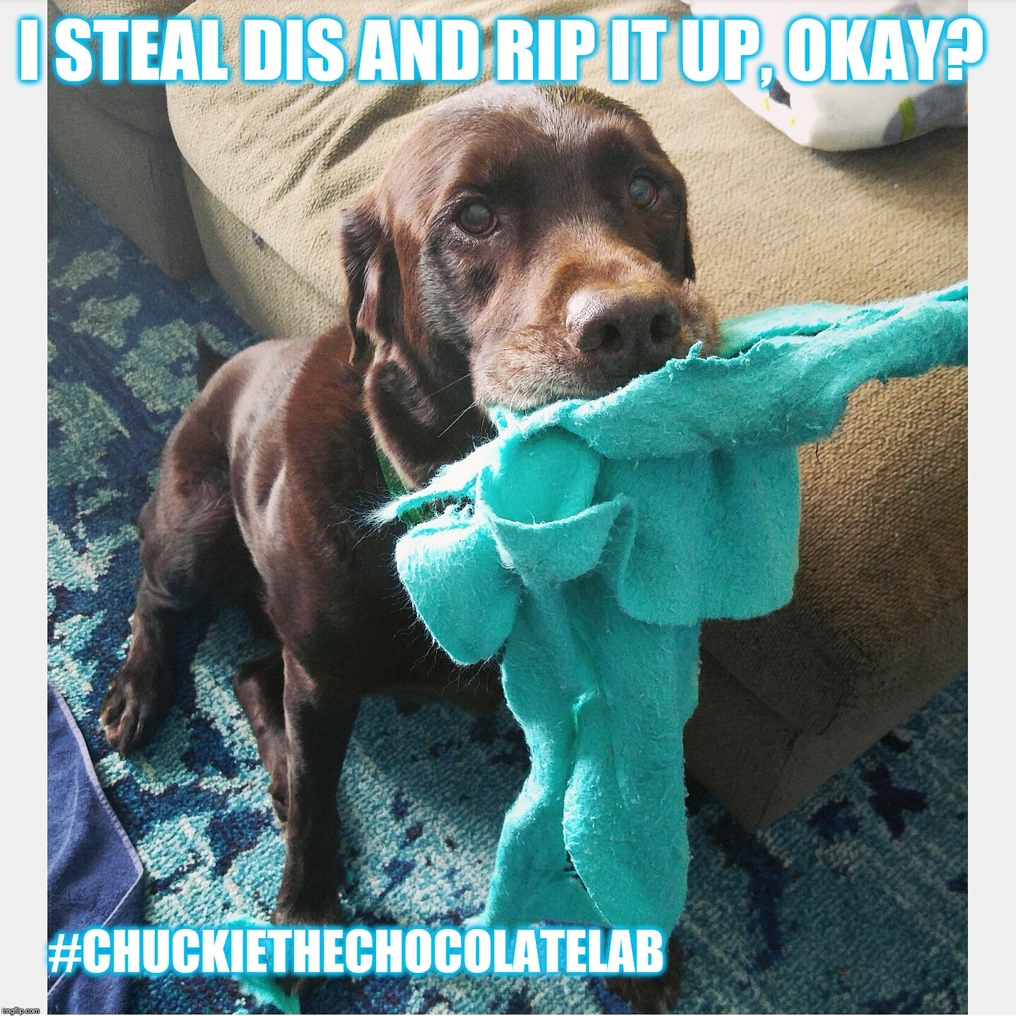 I steal dis |  I STEAL DIS AND RIP IT UP, OKAY? #CHUCKIETHECHOCOLATELAB | image tagged in chuckie the chocolate lab teamchuckie,i steal dis,funny,dogs,cute,memes | made w/ Imgflip meme maker