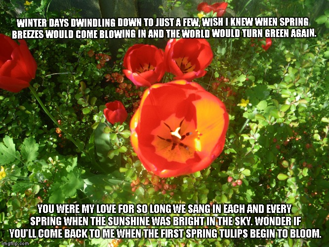 Bring Back the Sunshine | WINTER DAYS DWINDLING DOWN TO JUST A FEW, WISH I KNEW WHEN SPRING BREEZES WOULD COME BLOWING IN AND THE WORLD WOULD TURN GREEN AGAIN. YOU WE | image tagged in sunshine,spring,tulips,love | made w/ Imgflip meme maker